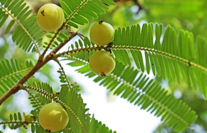 Amla-Oil-For-Hair-Loss