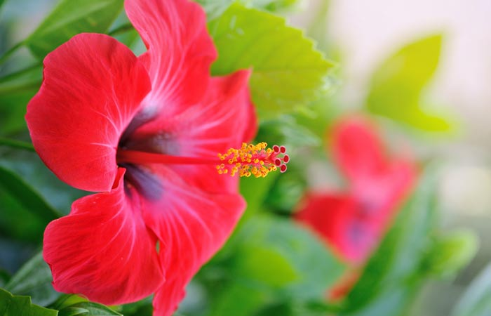 Hibiscus-Hair-Oil-For-Hair-Regrowth