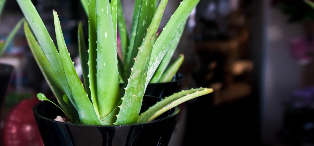 How To Use Aloe Vera For Hair Growth  10 Amazing Ways