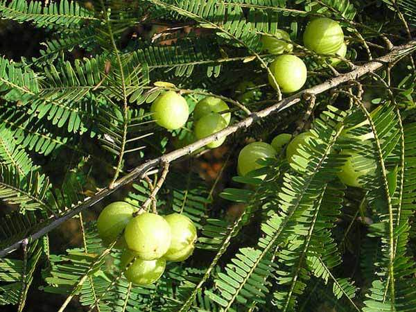 Gooseberry-for-hair-loss-treatment-300x177