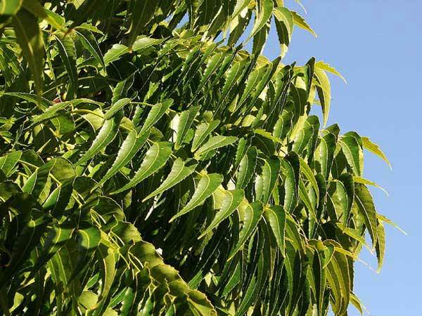 Neem-leaves-benefits-for-hair-300x178