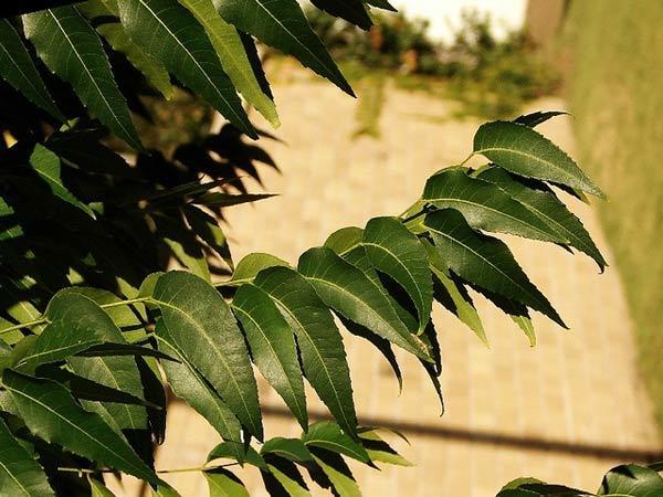 Neem leaf toner for