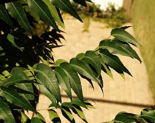 neem leaves benefits for hair