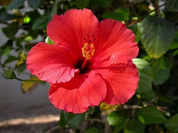 Hibiscus Flower herbal hair care
