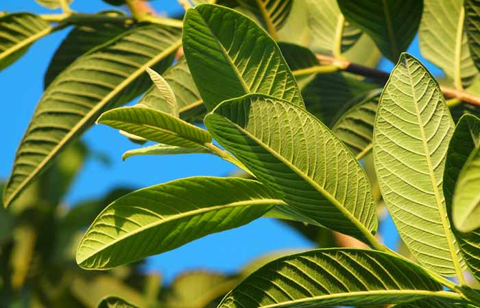 Ayurvedic Treatments For Pimples - Guava And Mango Leaves