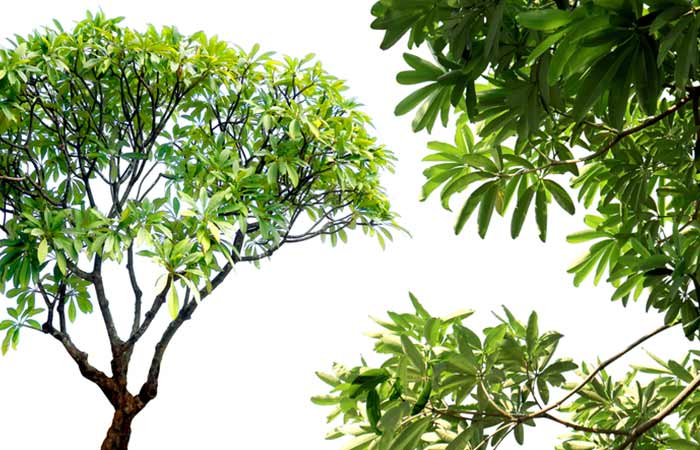 12. Japanese Pagoda Tree Extract