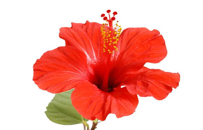9. Chinese Hibiscus