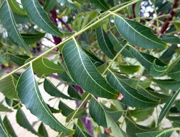 benefits of neem leaves for dandruff