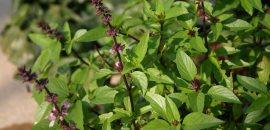 41 Amazing Benefits Of Tulsi Basil For Skin, Hair And Health A Must Use Herb