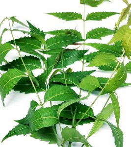 Can You Eat Neem Leaves? What Are The Health Benefits?