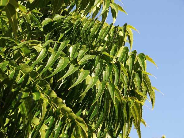 benefits of neem for skin and hair