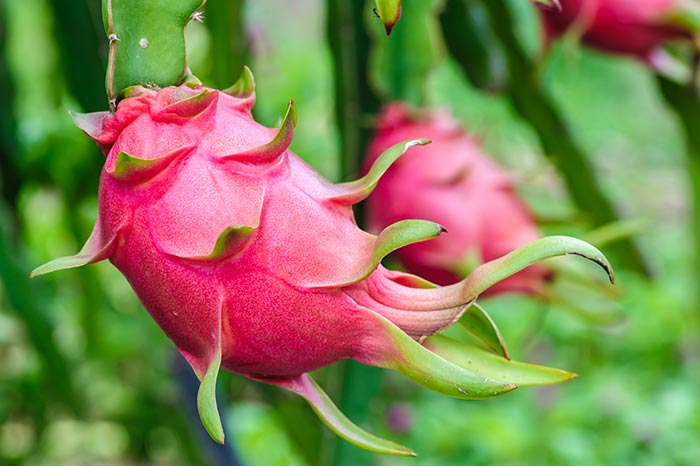 is dragon fruit good for you tropical fruit