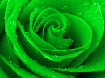 Top 10 Most Beautiful Green Roses