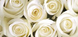 Top 10 Most Beautiful White Roses