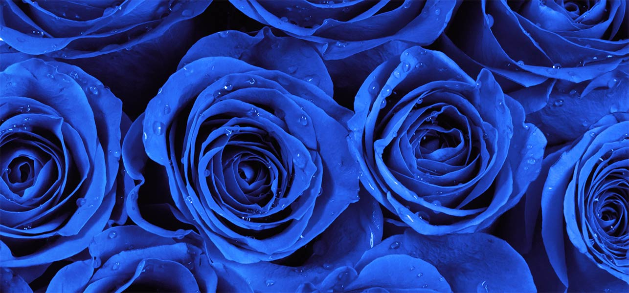most beautiful blue roses Gallery