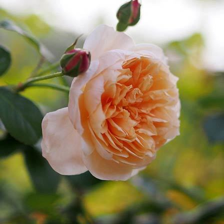 Top 10 most beautiful orange roses abraham darby pinit mightylinksfo