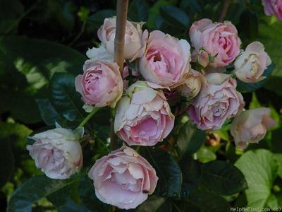 Acropolis Rose