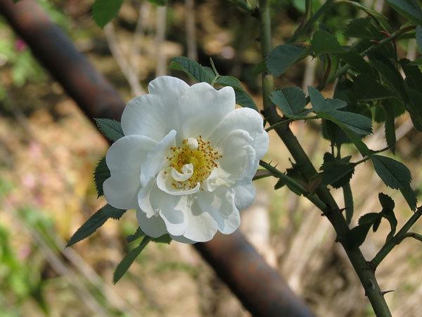Alba Maxima Rose