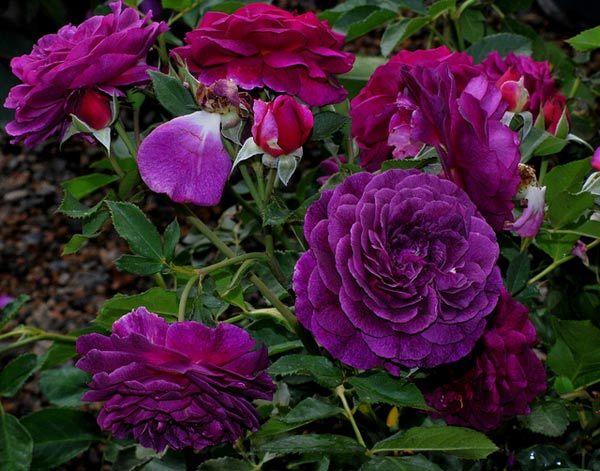 Bleu Magenta Rose