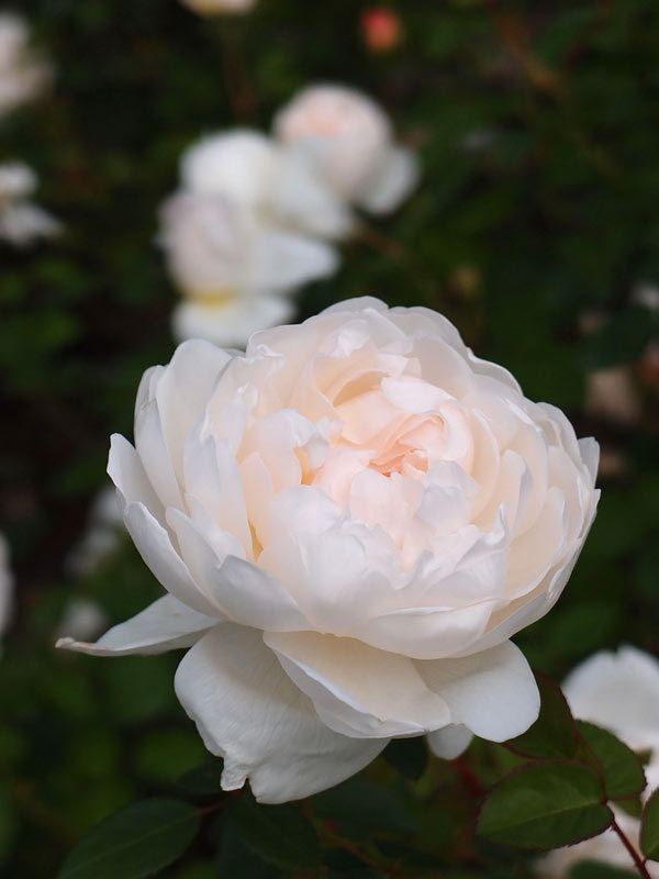 Top 10 most beautiful white roses glamis castle rose mightylinksfo