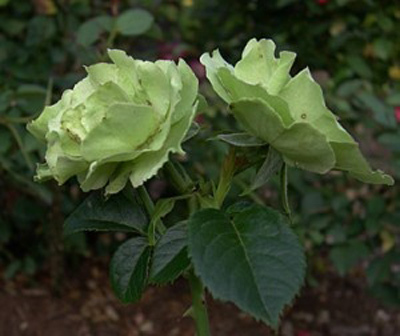 Greensleeves Rose