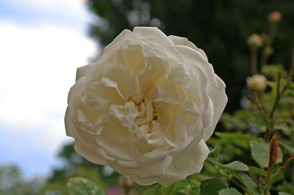 Long John Silver Rose