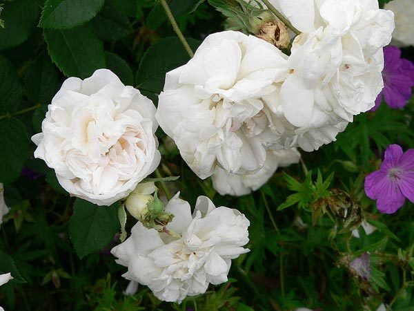 Top 10 most beautiful white roses mme plantier rose mightylinksfo