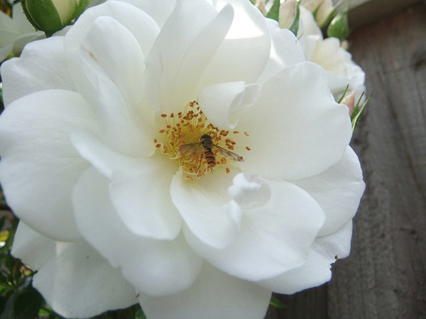 Mountain Snow Rose