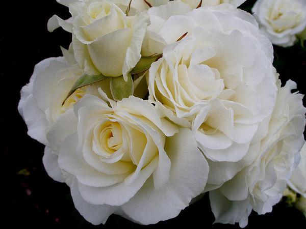 Mrs. Herbert Stevens Rose
