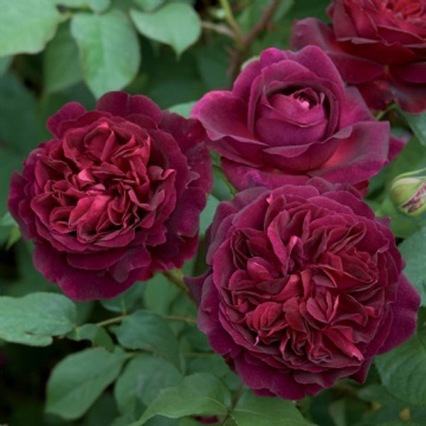 Munstead Wood Rose