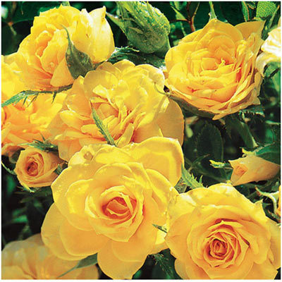Top 10 most beautiful yellow roses pinit mightylinksfo