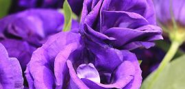 Top-10-Most-Beautiful-Purple-Roses
