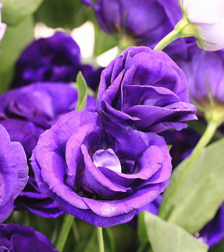 Top-10-Most-Beautiful-Purple-Roses