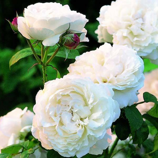 Top 10 most beautiful white roses winchester cathedral rose mightylinksfo