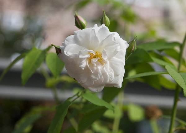 Yvonne Rabier Roses