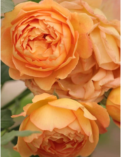 lady of shalott rose