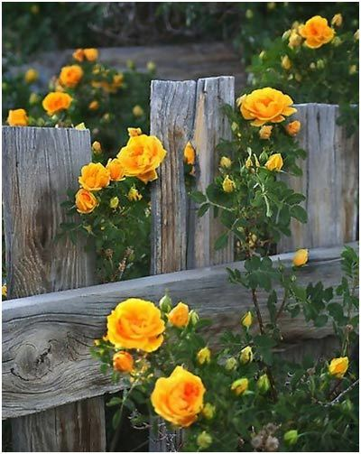 Top 10 most beautiful yellow roses shrub rose like flowers pinit mightylinksfo