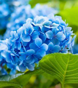 25 Most Beautiful Blue Flowers