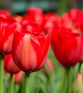 25 Most Beautiful Red Flowers