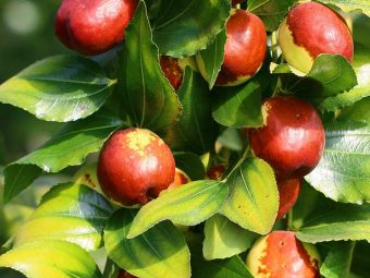 10 Amazing Benefits Of Jujube