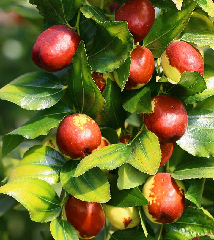 21 Mind-blowing Benefits Of Jujube Fruit