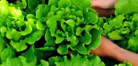 24-Best-Benefits-Of-Lettuce-(Kasmisaag)-For-Skin,-Hair-And-Health