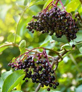 5-Amazing-Health-Benefits-Of-Elderberries
