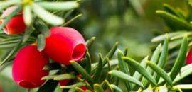 Best-Medicinal-And-Health-Benefits-Of-Taxus