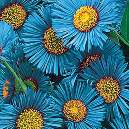 Blue Fringed Daisy