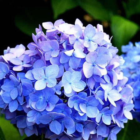 25 most beautiful blue flowers blue hydrangea is an absolute breathtaking flower some blue hydrangeas come in vivid and striking colours while some are in subtle shades like powder blue mightylinksfo