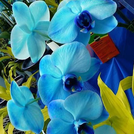 Orchids Are Highly Coveted Flowers That Represent Luxury Beauty And Strength Blue Astonishingly Beautiful Capable Of