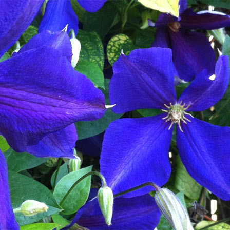 25 most beautiful blue flowers clematis pinit mightylinksfo