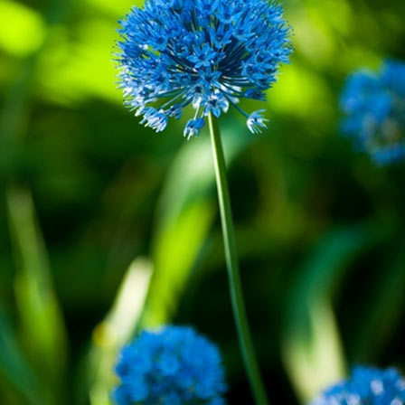 Dandelion flower is associated with love, affection, desire, sympathy while the blue dandelion flower represents faithfulness, happiness and tranquillity.