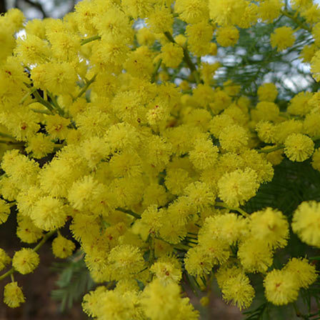 Top 25 most beautiful yellow flowers acacia flower pinit mightylinksfo